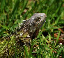 Iguana by Amanda Jordan