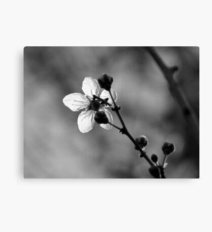 Blossom in Black & White Canvas Print