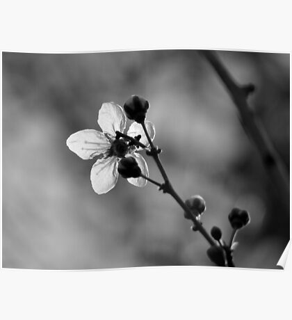 Blossom in Black & White Poster