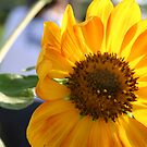 Sunflower by MMerritt