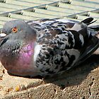 nice looking Pigeon by Debbie Montgomery
