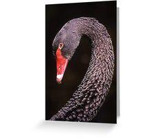 Male black swan in portrait Greeting Card