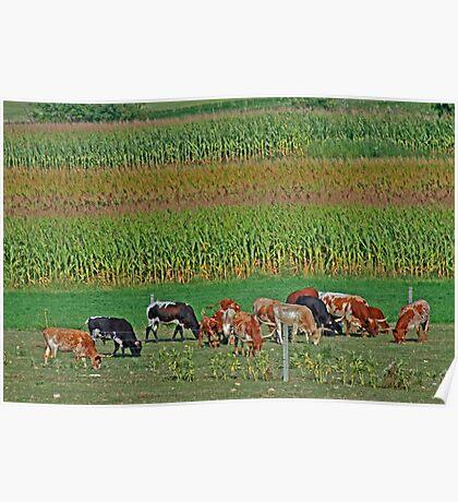Longhorn Herd Poster