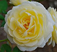 Yellow Rose by peasticks