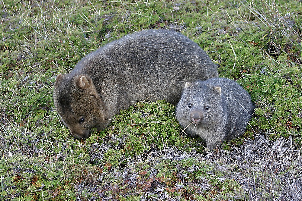 Quot Wombat Mother And Joey At Cradle Mountain Quot By Christine