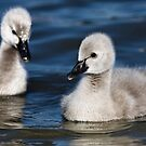 Cygnets by Mary Broome