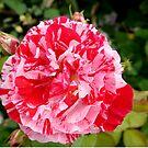 Raspberry Ripple Rose by hootonles
