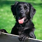 Black Retriever by Linda More