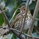Patiently waiting.....British songthrush by Rivendell7