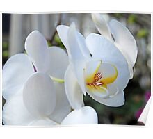 Cluster of White Orchids Poster