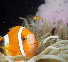 Clownfish Macro by Kristin Nichole Hamm