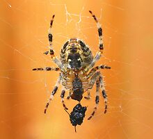 The Garden Spider........  by jdmphotography