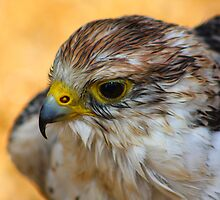 Lanner Falcon........  by jdmphotography