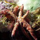 Macro Starfish by Kristin Nichole Hamm