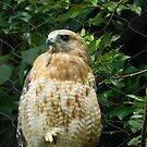 Red-Tailed Hawk by ctheworld