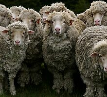 Pack of Sheep by Banni Bunting