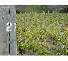 NZ Vineyard Photographic Print