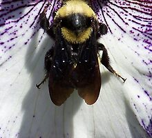 Bee on an Iris by Michael Keller