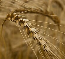 Wheat stalk. by Andrew Ferguson