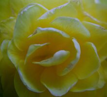 Double Blossom Begonia by Lolabud