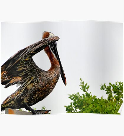 Galapagos Brown Pelican Drying Off Poster