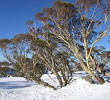 perisher gum  by ailsamarshall