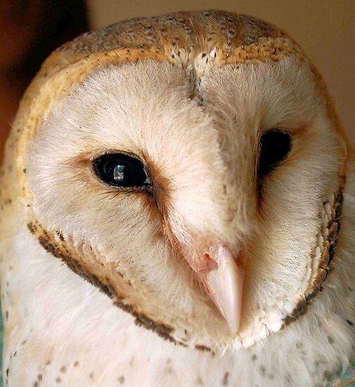 BARN OWL - Tyto alba by Magriet Meintjes