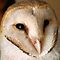 BARN OWL - Tyto alba by Magaret Meintjes