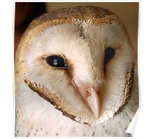 BARN OWL - Tyto alba Poster