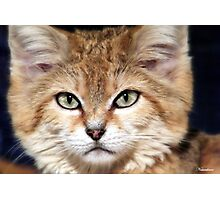 Arabian Sand Cat! Photographic Print