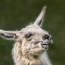 Happy Llama by Jane-in-Colour