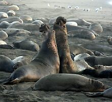 Two Male Elephant Seals by CarolM
