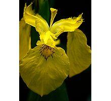 Yellow Iris Photographic Print