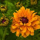 Rudbeckia by Jane-in-Colour