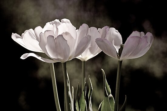 Love is a Tulip by Mark German