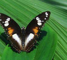 Butterfly by kjezt