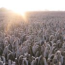 Wheat Field by Mike Paget