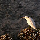 Eagle Eyed Egret by gardenofbeeden