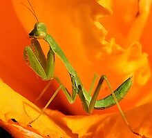 Mantis by Rickcalif