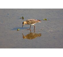 The Ruff........ Photographic Print