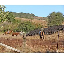 Moving Cattle Photographic Print