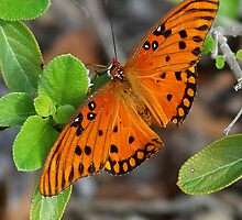 Gulf Fritillary by Virginia N. Fred