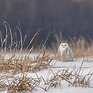Snowy Owl At The Marsh 1 by Thomas Young