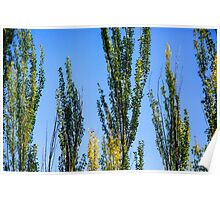 trees in a forest. Blue sky background .  Poster
