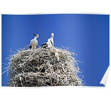 storks nesting on an electric pole  Poster