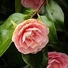 Camellias by jwinman