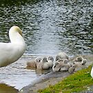 Swans and Signets by valerieparent