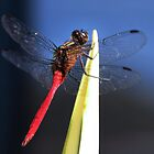 Red Dragonfly  by Nickie