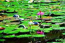 water lillies by Helen  Page