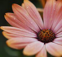 Pink Daisy  by fixtape